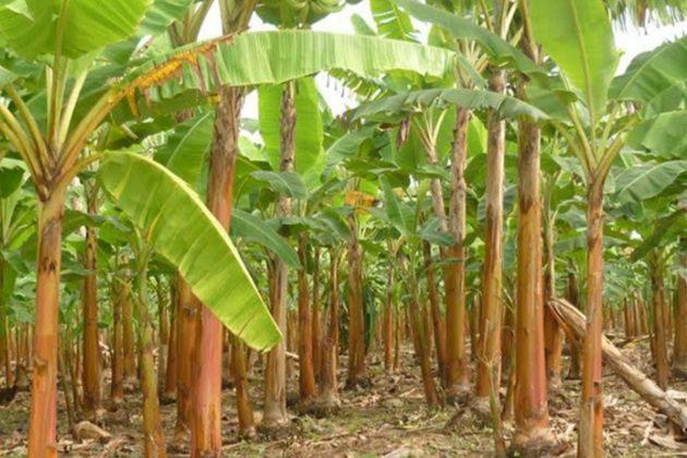 MINAGRI refuerza control para evadir hongo que daña cultivos de banano