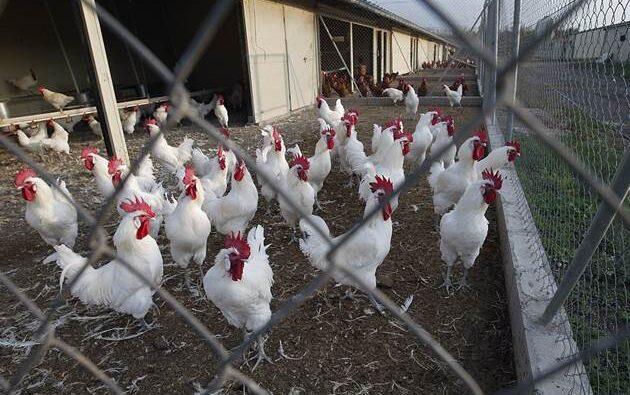 Perú frena importaciones avícolas chilenas para evitar influenza aviar