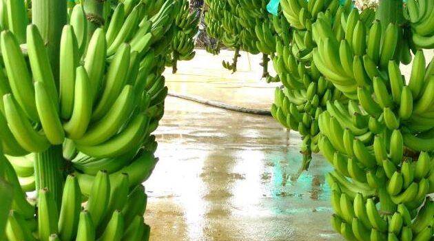 Piura es el principal productor y exportador de banano orgánico del país