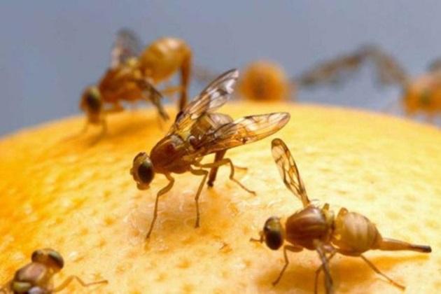 Para erradicar la mosca de la fruta Minagri intervendrá más de 200 mil ha