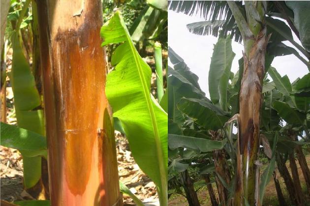 Producción de banano en piura afectada por nueva plaga