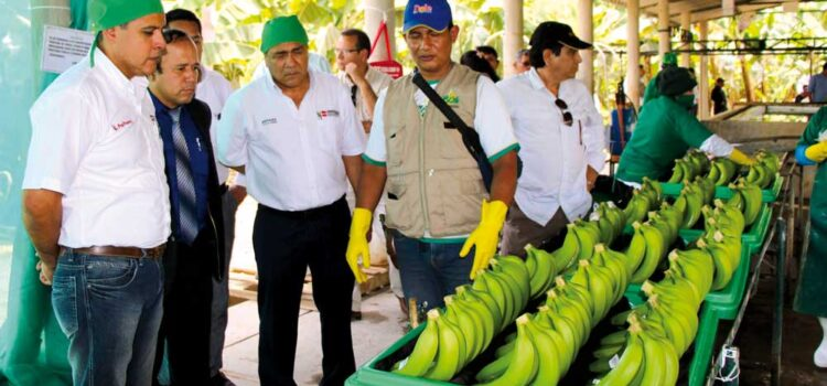 Proceso de empaque del banano orgánico es mejorado para exportación