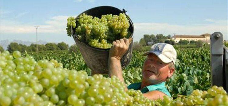 Piura inicia campaña de exportación de uva de mesa