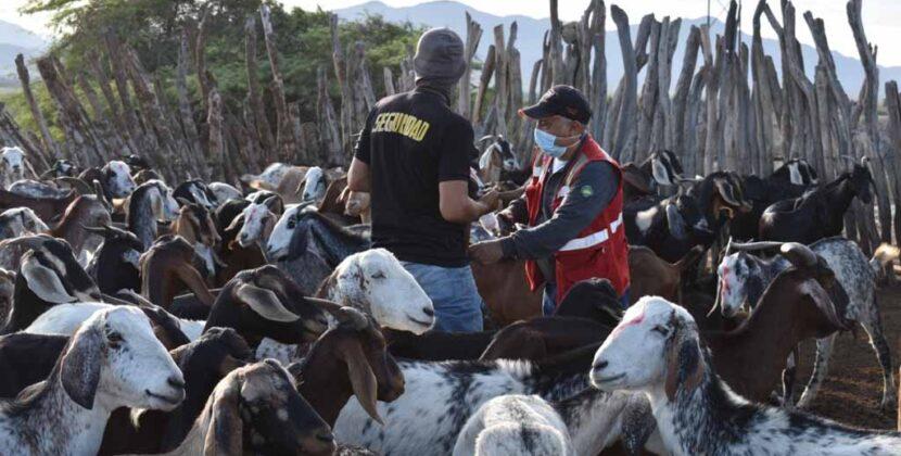 Vacunan a más de 28 mil cabezas de ganado en Piura